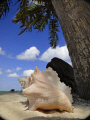 While looking for red boobies on Half Moon Caye I came across this conch near the beach