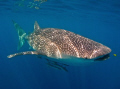 Any Whale Shark day is a good day