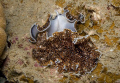 Flat worms Acanthozoon sp. Mating You can see the reproductive organ on the top one