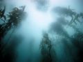Kelp forest, Fortescue Bay, Tasmania