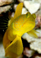 Watchful eyes - Yellow watchman goby (Cryptocentrus cinctus)
