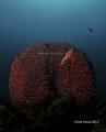 Longnose hawkfish (Oxycirrhites typus) @ Isla del Caño, Osa, Costa Rica by David Garcia. nikon d300s, nikon 10,5mm, ikelite housing