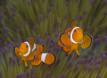Clown Fish in Raja Ampat, Indonesia  Nikon D90