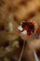 Cleaner shrimp in Little Cayman  D300 105mm with subsea +10 diopter