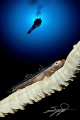 CFWA. Wire Coral Goby & Diver