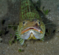 A friendly Lizard Fish on the house reef at The Castle Comfort Dive Lodge, Dominica, E.C.