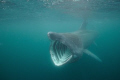 Basking Shark taken whilst snorkelling off the coast of Isle of Man this August.  Taken with Nikon D300 at 10mm ISO 800 with natural light.  
