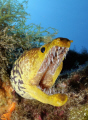 Fangtooth moray eel. Very menacing, but harmless.