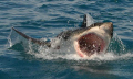 Shark caught near Cape town. Was making photos before diving with sharks in cage. Amazing ...