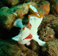 stretchy strectcy!!! im reaching!!! (clown frogfish) is only abt 2 & half cm so tiny...really super cute, never get bored looking at them : )