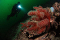Red soft corals from Marmara Island. Taken with Nikon D80, 10,5 mm fisheye lens, 2xYS110 strobe.