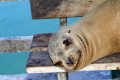 A smiling Galapagos sea lion in his natural habitat - a park bench.  I wanted to give this cute little guy some money, but he'd probably just spend it on alcohol.