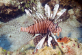 A beautiful invader.  We dived in Turks 3 years ago and didn't see one lion fish.  This year we saw them on every dive.