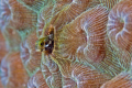 Secretary Blenny, Grand Cayman.