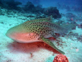 this leopard shark is usually found laying on the bottom during the day,i dropped down nice and slowly to get within 3 feet of her to get this shot the camera i used is a panasonic DMC-FT1 in underwater mode