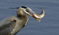 Blue Heron eating White Perch