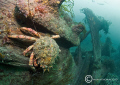 Spider crab on wreck of the liner Herefordshire, which went aground on Cardigan Island in 1934,