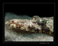 Crocodilefish with its persant glance - Egypt - Canon S90 with hand torch light