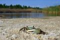 Green Fiddler Crab