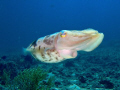 Sepia (cuttlefish) taken with a fuji f31 + intova strobe off Bangka, North Sulawesi