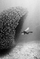Akule Bait Ball in Keauhou, Hi. This was taken on film with a nikonos V / 20mm sea&sea, while freediving (breath hold diving, no tanks).  Depths up to 70ft.
