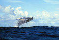 Humpbackwhale jumping  Nikon F4, f2.8/70-200 mm, Film Velvia 100 ISO