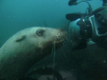 This is one of six Stellar Sea Lions that followed us around and played with us while we were diving at Race Rock off the coast of Vancouver Island, BC Canada