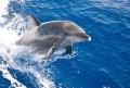 Bottlenose dolphin from the Fairwind II