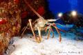 Rather Large Lobster, Cozumel