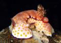 Risbecia pulchella