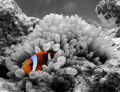 orange clownfish in a b/w world
