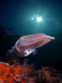 Big cuttle fish
