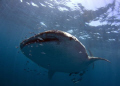 A large Shark Bay Whale Shark comes in for a look!