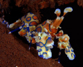 Probably one of the most Harlequin shrimps captured on picture. Dive sport: Seraya Secrects, Bali.