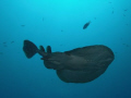 While diving at 20meters, I caught movement in the top corner of my vision. It was an young Electric ray that swam overhead giving a semi silhouette to the photo, used camara flash on soft to catch some details