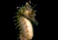 Seahorse ,hippocampus