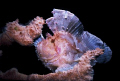 Leaf Scorpionfish.