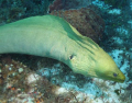 swimming with a Moray