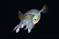 lembeh by night,nikon d2x 60mm macro