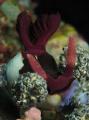 Nudibranch feeding.