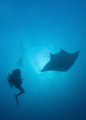 Diver meets manta