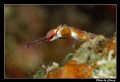 Small curious pipefish.