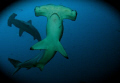 Hammerhead shark, coco's island, Costa Rica