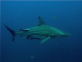 Black Tip Reef Shark cruising!!