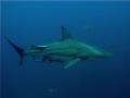 Black Tip Reef Shark cruising!!