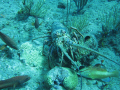 Spiny lobster and groupers