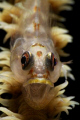 A Goby whit something to say.