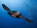Hawksbill diving from surface