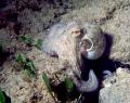 Octopus at Crete