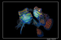 My interpretation of the beautiful world of the Mandarin Fish. Shot in Mabul. Nikon D200+60mm macro with dual YS110 strobes connected via TTL converter
